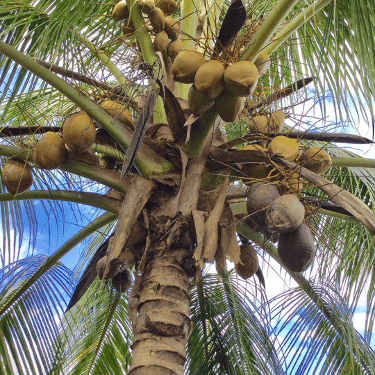 http://roatan-guavagrove.com/wp-content/uploads/2017/01/Coconut-tree-540x540.png